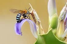 Blue banded bee 2.jpg