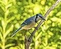 Blue jay on a tree limb.jpg