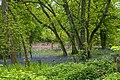 Bluebells in Castle Copse, Cranbury Park - geograph.org.uk - 795256.jpg