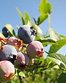 Blueberries (9423981283).jpg