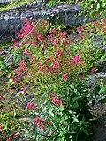 Blumen - panoramio (1).jpg