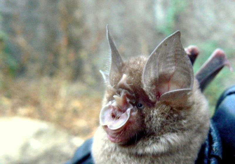Blyth's Horsehoe Bat (Rhinolophus lepidus)