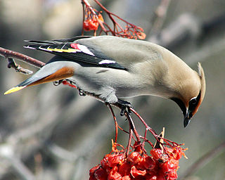 Waxwing genus of birds