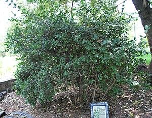"English: ""boldo"" plant (Peumus boldu..."