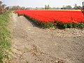 Bollenvelden Noordwijkerhout 24 april 2005.jpg