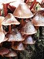 Bonnet fungus (Mycena sp.) (8212664867).jpg