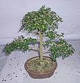 Bonsai of Fuken Tree 04.jpg