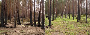 Ecological succession - Succession after disturbance: a boreal forest one year (left) and two years (right) after a wildfire.