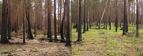 Two photographs of the same section of a pine forest; both show blackened bark at least halfway up the trees. The first picture is noticeably lacking in surface vegetation, while the second shows small, green grasses on the forest floor.