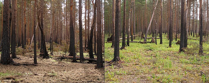 Boreal pine forest after fire.JPG