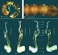 Boreohesperus furcosus Holotype.jpg