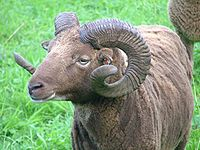 Borris the ram.jpg