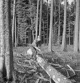 Bosbewerking, arbeiders, boomstammen, gereedschappen, Bestanddeelnr 251-7930.jpg