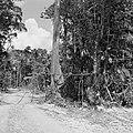 Boslandcreolen bezig met het omzagen van een boom, Bestanddeelnr 252-4877.jpg