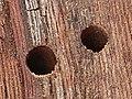 Bostrichus capucinus schlupf.jpg