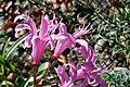 Botanischer Garten der Universität Zürich - Nerine mansellii 2011-10-24 14-43-28.JPG
