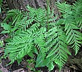 Botrypus virginianus (rattlesnake fern) (Natural Bridge State Park, northeast of Leland, Wisconsin, USA) 7 (19097739605).jpg