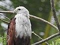 Brahminy kite (Haliastur indus)കൃഷ്ണപ്പരുന്ത് 14.jpg