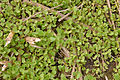 Brassica napus seedloss, koolzaad opslag uit zaaduitval (3).jpg