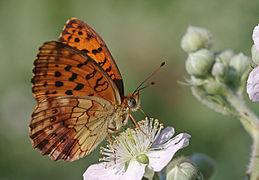 Brenthis daphne (1).jpg