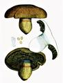 Bresadola - Cortinarius infractus.png