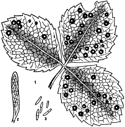 Britannica Strawberry Leaf-spot Fungus.png