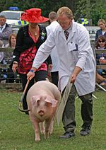 British Lop sow at Stoneleigh Park, Warwickshire.jpg