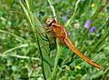 Broad Scarlet Female. Crocothemis erythraea. - Flickr - gailhampshire.jpg
