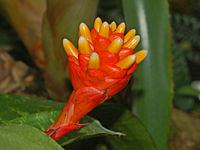 Bromeliaceae - Guzmania musaica.JPG