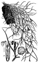 Bromeliaceae 2.png