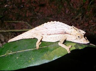 <i>Palleon nasus</i> Species of lizard
