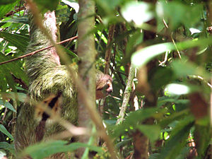 Brown-throated sloth - Male showing black patch between shoulders