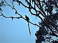 Brown Sicklebill male. Epimachus meyeri. (48665944112).jpg