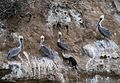Brown pelicans and cormorant in La Jolla (70769).jpg