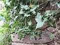 Bryonica alba Spitz.jpg