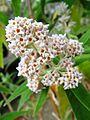 Buddleja salviifolia, white form.jpg