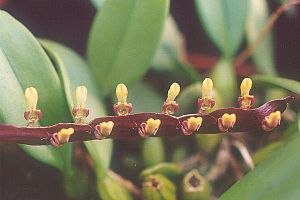 Bulbophyllum - Image: Bulbophyllum falcatum