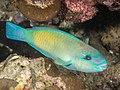 Bullethead Parrotfish (Chlorurus sordidus) (42854211385).jpg