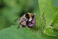 Bumble Bee (Bombus ardens ssp. sakagamii) (15556513065).jpg