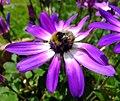 Bumblebee (Bombus pratorum) on flower, Sandy, Bedfordshire (7387383286).jpg