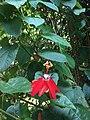 Bunga Passiflora.jpg