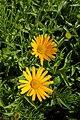 Buphthalmum salicifolium kz02.jpg