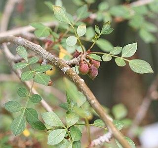 <i>Bursera fagaroides</i> species of plant