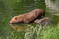 Bush dog at Chester Zoo 2.jpg