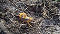 Buthus occitanus. Buthidae - Flickr - gailhampshire.jpg