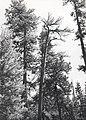 C.1984. Dwarf mistletoe damage. (40048851190).jpg