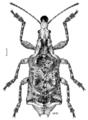 COLE Belidae Agathinus tridens.png