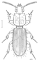 COLE Carabidae Clivina basalis.png