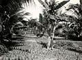COLLECTIE TROPENMUSEUM Kweekbed voor padi bij Perapakan Besi TMnr 10020022.jpg