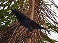 Cacicus haemorrhous Iguaçu 2.jpg
